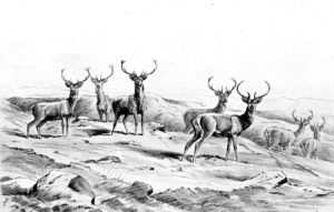 Pencil sketches of deer, 1912, by Frank Wallace. (The Wallace Family)