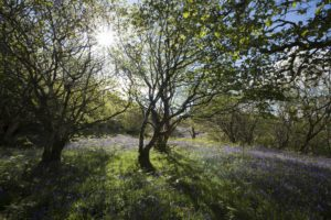 A bluebell wood on the estate. Photograph: Jim Manthorpe. NO F21 Bluebells Killundine Estate copyright Jim Manthorpe