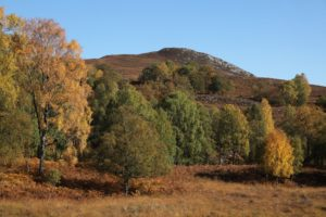 NO F28 Birch trees at Dundreggan