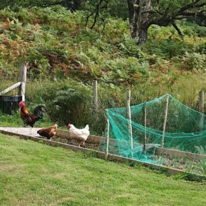 Vanishing chickens could signal the presence of a hungry fox or pine marten. NO F37 chickens gardening
