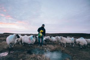 Colin Macleod tends sheep on his croft on Lewis. NO F42 Colin MacLeod 05