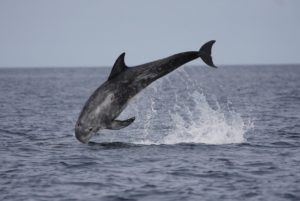 The majority of UK sightings of Risso's dolphin occur along Scotland's west coast. Photograph: Nicola Hodgins/WDC.