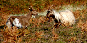 As well as sheep, the island is home to a herd of wild goats.