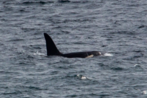 Aquarius. also seen here in Cornish waters, accompanied John Coe on the marathon trip south. Photograph: by Will McEnery-Cartwright. NO F22 Orca Aquarius