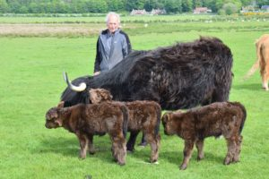 David Laing was surprised to find that his Highland cow had given birth to triplets.