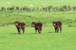 Meet Penny, Poppy and Princess, Kintyre's adorable Highland calf triplets.
