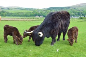 The triplets and their mother are enjoying being outside in the sunshine at Killean.