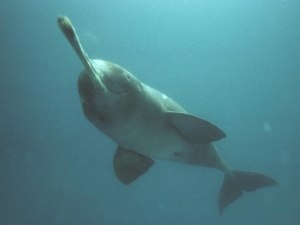 The Ganges Dolphin, pictured, is one of only three species of fresh water dolphin left. Photograph: SaveTheGangeticDolphin. NO F31 ganges