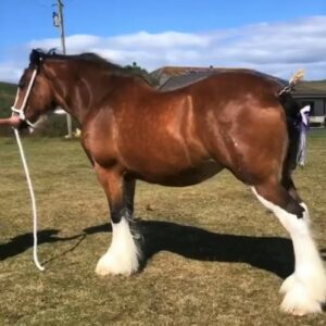 The Clydesdale horse champion from Margaret Bateman, Langholm.